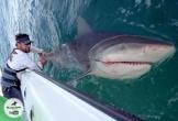 Cá mú hơn hai tạ 'nuốt chửng' cá mập giữa biển khơi