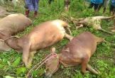 Lũ quét sạch lán trại, gia chủ cùng 11 con bò bị vùi lấp
