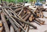 Hà Tĩnh: Ngang nhiên chặt hạ, khai thác rừng thông hàng chục năm tuổi