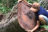 Tan hoang rừng phòng hộ A Lưới ở Huế: Cây xẻ tại chỗ, gỗ nằm ngổn ngang