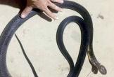 Người đàn ông ở Nghệ An tử vong khi cố bắt sống rắn hổ mang chúa dài gần 3 mét
