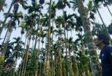 Nhà vườn thu trăm triệu nhờ cau được giá