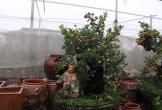 Quất bonsai – Hướng đi mới đem lại thu nhập cao cho Tết