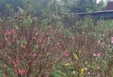 """Nghệ An: Người trồng đào lo """"mất Tết"""" vì hoa bung nở sớm"""