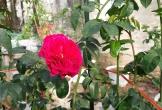Cận Tết, hồng ngoại, hồng cổ Sapa