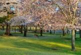 10 điểm ngắm hoa anh đào tại Nhật Bản