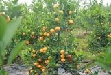 'Phù thủy' biến cây quất bỏ đi, thành quất 'vàng', kiếm vài chục triệu đồng ăn Tết