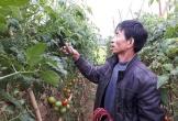 Cà chua Nghệ An có giá cao nhất trong vòng 4 năm gần đây