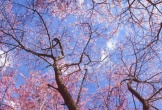 Cần gì chờ tháng 3 tháng 4 để sang Nhật Bản, ngay thời điểm này có thể đến Chiang Mai ở Thái Lan ngắm hoa anh đào nở rực rỡ