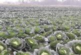 Đã mắt ngắm cánh đồng rau sạch xanh ngút ngàn, giá tiền tỉ ở Hà Tĩnh