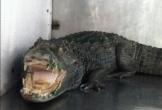 Cá sấu đụng độ chó cảnh khi tìm cách bò vào nhà người dân