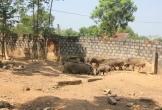 """Trang trại lợn rừng """"made in"""" Nghệ An"""