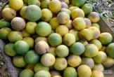 Hà Tĩnh: Hàng chục tấn cam đặc sản rụng tả tơi giữa vụ thu hoạch