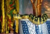 Ngôi đền rắn độc bò ngang nhiên trên đầu du khách