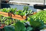 Đã mắt với vườn rau xanh mướt trên sân thượng 50m2