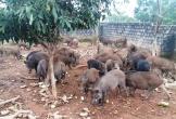 Trại lợn rừng Nghệ An: Địa chỉ cung cấp thịt tết ngon, sạch cho mọi nhà