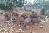 Địa chỉ mua thịt lợn rừng