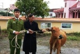 Bắt quả tang đôi nam nữ trộm trâu bò mang về mổ giết thịt