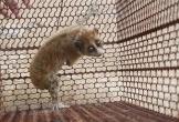 Hà Tĩnh: Phát hiện con vật lạ nghi culi quý hiếm