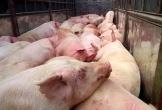 Nghệ An: 3 huyện xuất hiện gia súc bị lở mồm, long móng