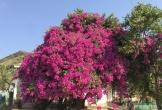Kinh ngạc với cây hoa giấy khổng lồ trên đảo Lý Sơn