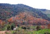 Những khoảnh rừng Nghệ An nhuộm đỏ màu lá cây săng lẻ