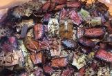 Bọ xít non mùi hôi đáng sợ: Đắt hơn bò Mỹ, rang ăn cả cân