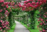 10 loại hoa leo rủ xua tan oi bức mùa hè