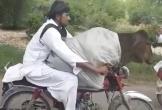 Hài hước người đàn ông chở bò bằng xe máy