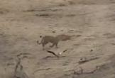 Video: Ngỗng bố giả bị thương để dụ kẻ săn mồi và cái kết bất ngờ