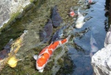 Đến nơi sạch tới mức hàng nghìn con cá sống khỏe dưới rãnh nước thải