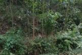 Đi đắp bờ ruộng, phát hiện thi thể đang thối rữa trong rừng keo