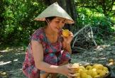 Mùa quả chín thơm trên cây thị di sản 200 năm tuổi ở Nghệ An