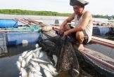 Cá nuôi ở Hà Tĩnh chết trắng lồng bè do xác bèo tây phân hủy?