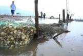 Nghêu nuôi chết sau mưa lũ, người dân Hà Tĩnh bị thiệt hại nặng