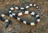 Thực hư tin đồn rắn thích mùi sữa mẹ