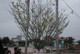 Nổi nhất tết này, mai rừng 40 năm tuổi giá 100 triệu ở Hà Tĩnh