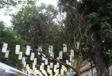 Đại gia chi hơn 3 tỷ đồng vẫn không mua nổi cây Hoàng mai 120 tuổi