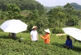 Masan High-Tech Materials thúc đẩy xu hướng trồng chè VietGAP và chè hữu cơ