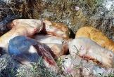 Phát hiện 200 kg thịt lợn sữa không rõ nguồn gốc