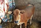 Cẩm Xuyên - Hà Tĩnh: Con bò 'đi lạc' do… danh sách