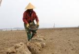 Nhiều hộ dân khốn đốn vì nghêu nuôi chết trắng đầm ở Hà Tĩnh