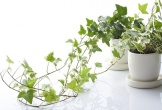 ''Bảng vàng'' 7 Loại cây hút sạch sẽ khí độc trong phòng, nên trồng vào mùa hè