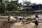 Thêm 1 cây phượng bật gốc đổ giữa sân trường khiến học sinh lo sợ