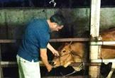 Bắt quả tang U60 bơm nước vào miệng bò trước khi giết mổ