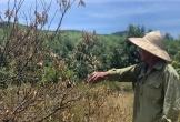 """Hàng ngàn héc ta cây đặc sản quay quắt khô cháy vì… """"khát nước"""""""
