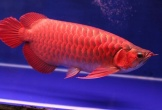 Muốn tiền bạc 'ào ạt' vào nhà, hãy nuôi cá rồng đỏ