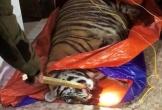 Hà Tĩnh: 'Tá hỏa' phát hiện cá thể hổ 2,5 tạ trong nhà dân