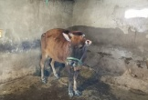 Hà Tĩnh tổ chức tiêm thí điểm vacxin viêm da nổi cục trâu, bò