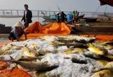 Trúng đậm mẻ cá chim vàng, ngư dân Hà Tĩnh một ngày thu 600 triệu đồng